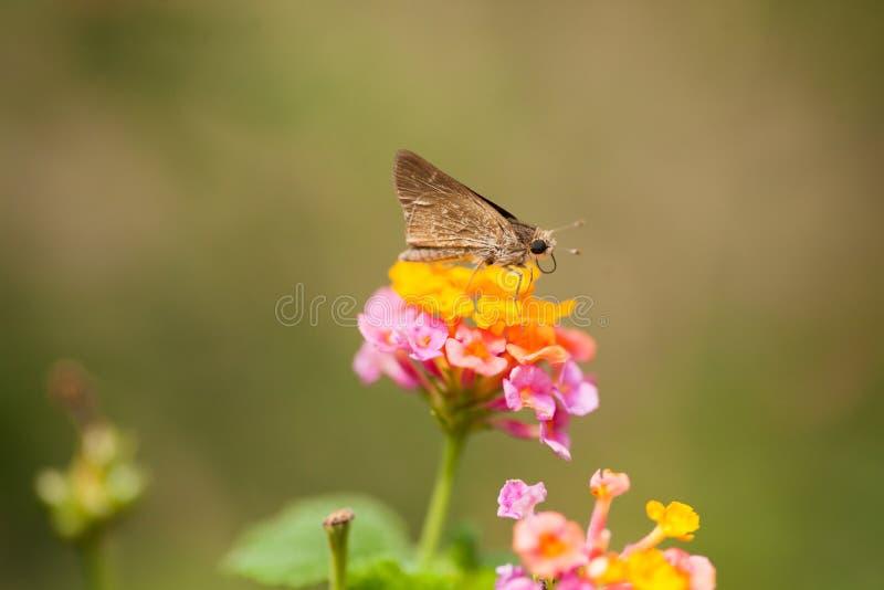 Een vlinder die op bloemen rusten stock foto