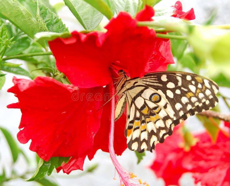 Een vlinder het drinken nectar royalty-vrije stock foto's