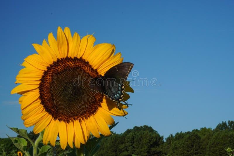 Een vlinder landt op een zonnebloem onder een blauwe hemel royalty-vrije stock afbeeldingen