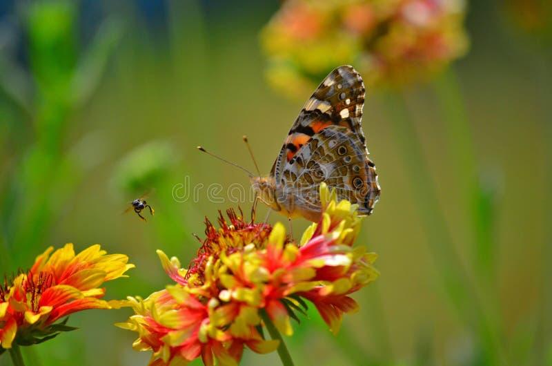 Een vlinder met een insect in een tuin in Agartala, Tripura, India stock foto