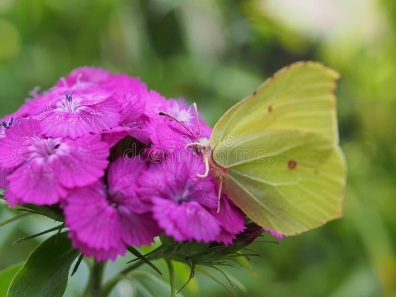 Een vlinder met gele vleugels verzamelt nectar van bloemen Rode Turkse anjers stock fotografie