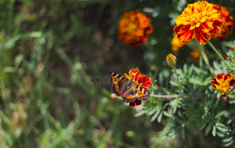 Een vlinder op een goudsbloembloem die wordt gezeten royalty-vrije stock afbeelding