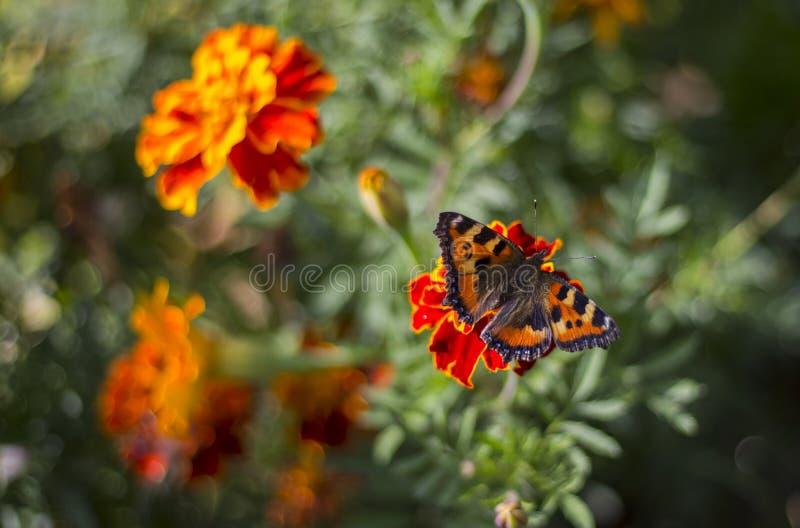 Een vlinder op een goudsbloembloem die wordt gezeten stock foto