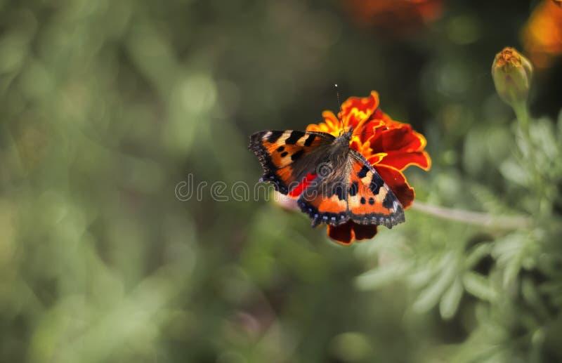 Een vlinder op een goudsbloembloem die wordt gezeten royalty-vrije stock foto