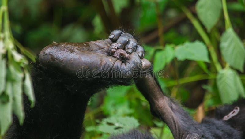 Een voet berggorilla's Close-up oeganda Bwindi Ondoordringbaar Forest National Park stock fotografie