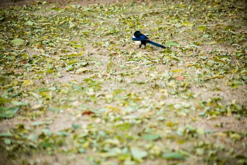 Een vogel in de gevallen bladeren in de herfst stock fotografie