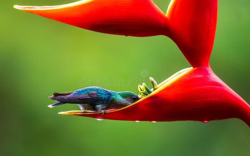 Een vogel die aan een nectar in een rode bloem voedt stock foto's