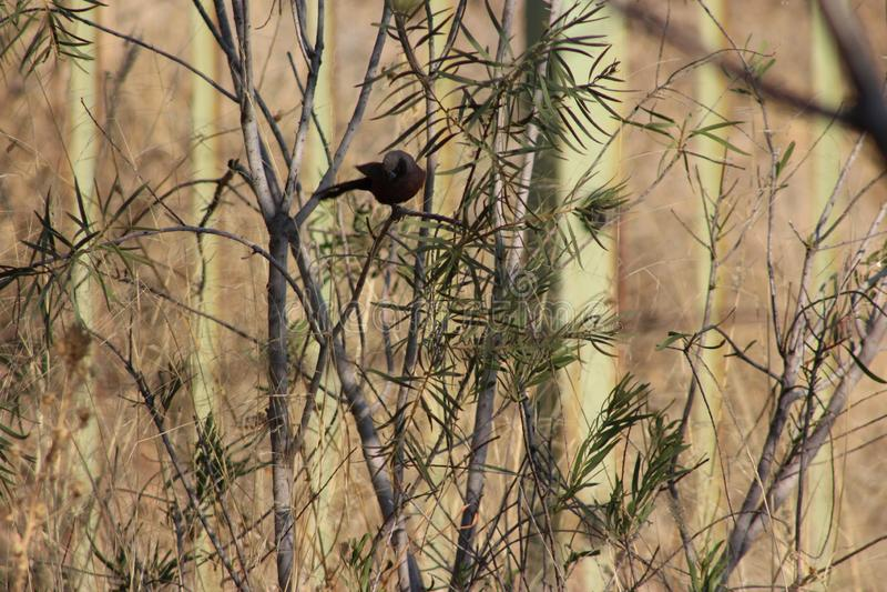 Een vogel die in Namibië wordt gevangen stock afbeeldingen