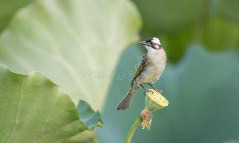 Een vogel die zich op lotusbloemzaad bevinden royalty-vrije stock foto