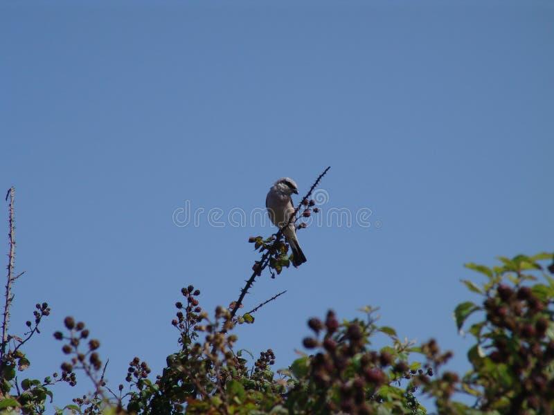 Een vogel op de braambessentak royalty-vrije stock afbeelding