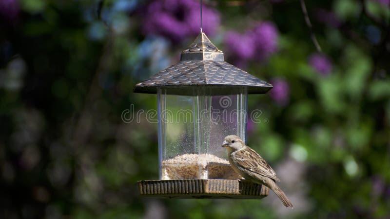 Een vogel van de huisvink op een voeder royalty-vrije stock afbeelding