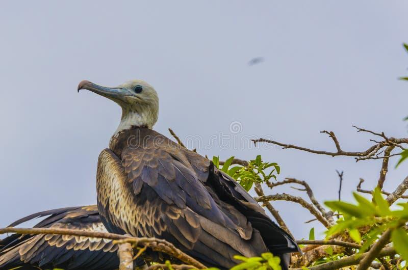 Een vogel van het magnificefregat die in de Galapagos nestelt en adjacen stock afbeelding