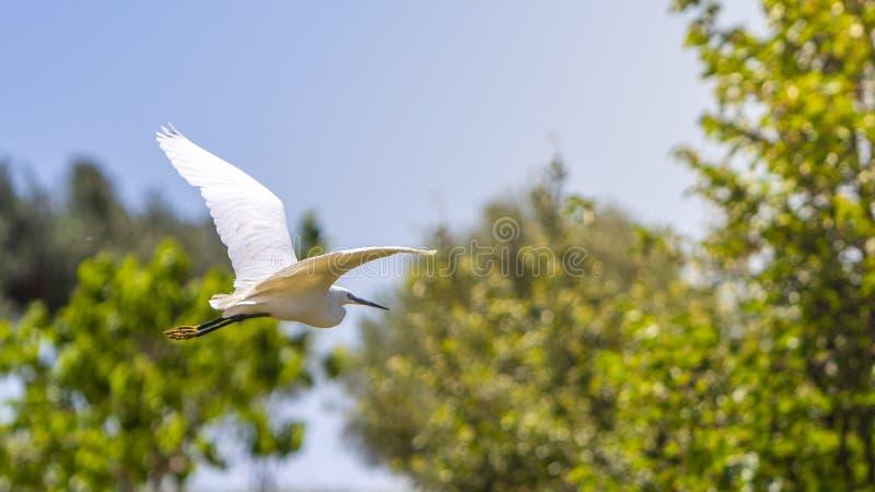 Een vogel, veeaigrette, tijdens de vlucht door bos stock fotografie