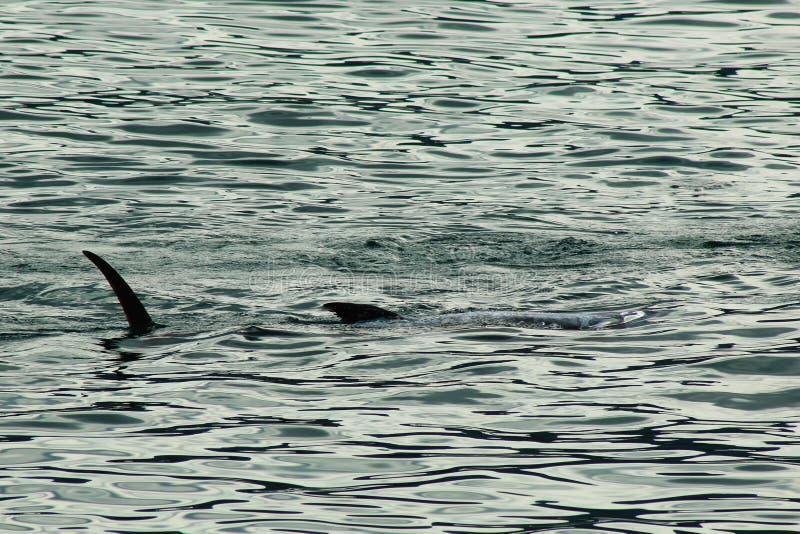 Een volkomen gevangen haai wordt gebracht terug naar het dorp om te verkopen stock foto