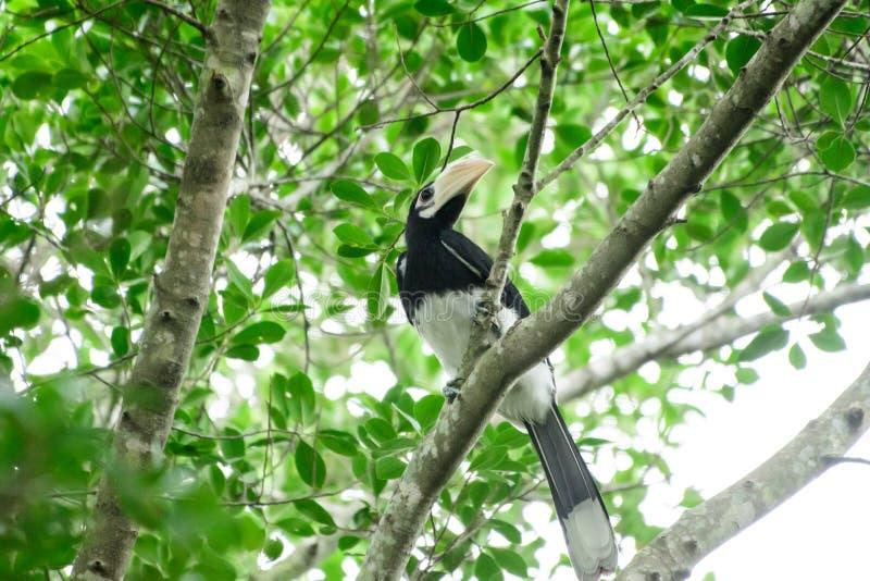 In een volledig bos Sommige dagen zullen wij een het leven zwarte hornbill vinden, levend in het bos stock afbeelding