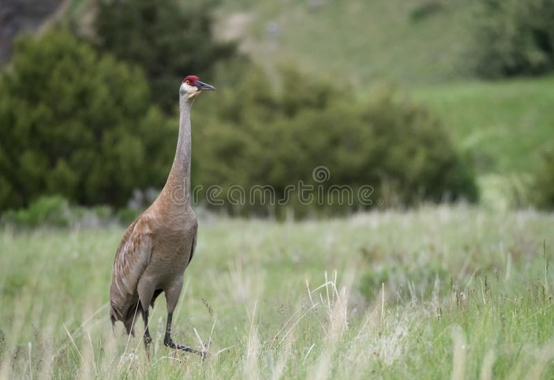 Een Volwassen die Sandhill Crane Standing op een Gebied door wordt opgeschrokken kwam royalty-vrije stock afbeeldingen