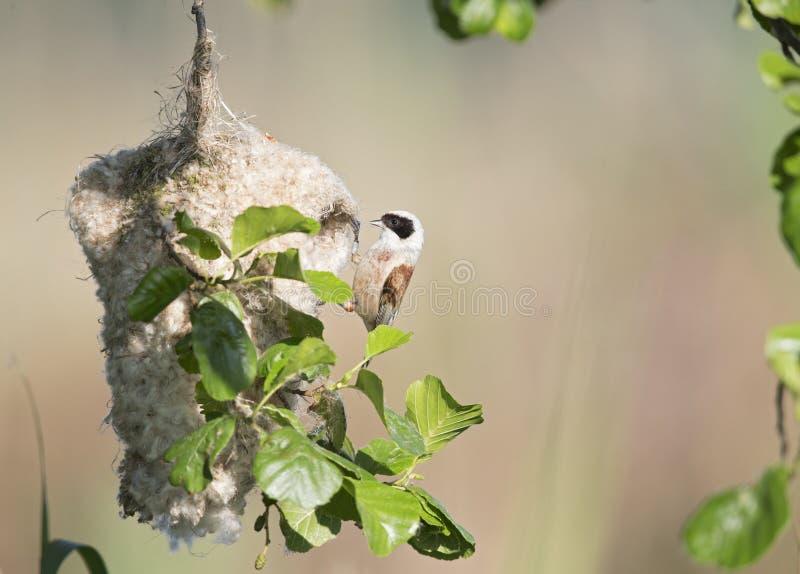 Een volwassen Europees-Aziatische pendulinus die van Remiz van de pendulinemees zijn eigen nestoorzaak van storing van mensen dis stock foto