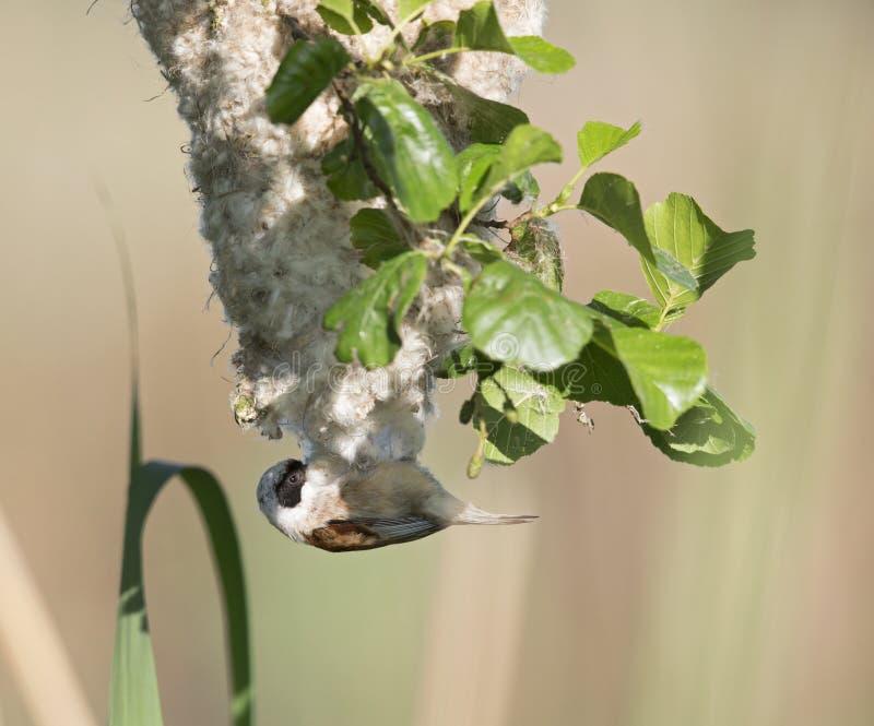 Een volwassen Europees-Aziatische pendulinus die van Remiz van de pendulinemees zijn eigen nestoorzaak van storing van mensen dis stock afbeelding