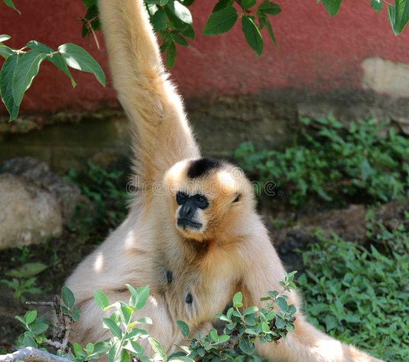 Een Volwassen Gibbon-Aap die ongeveer voor de gek houden royalty-vrije stock foto's