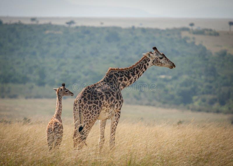 Een volwassen girafhorloges over een kalf in een girafkinderdagverblijf in de savanne stock foto's