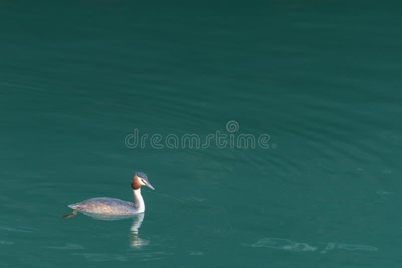 Een volwassen grote kuiffuut die op een meer zwemmen royalty-vrije stock fotografie
