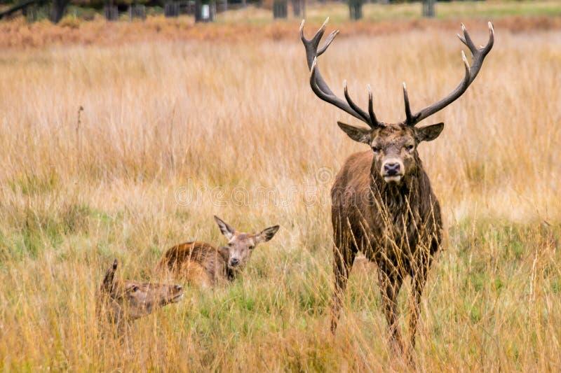 Een volwassen mannelijk rood hert bekijkt agressief de camera royalty-vrije stock afbeelding