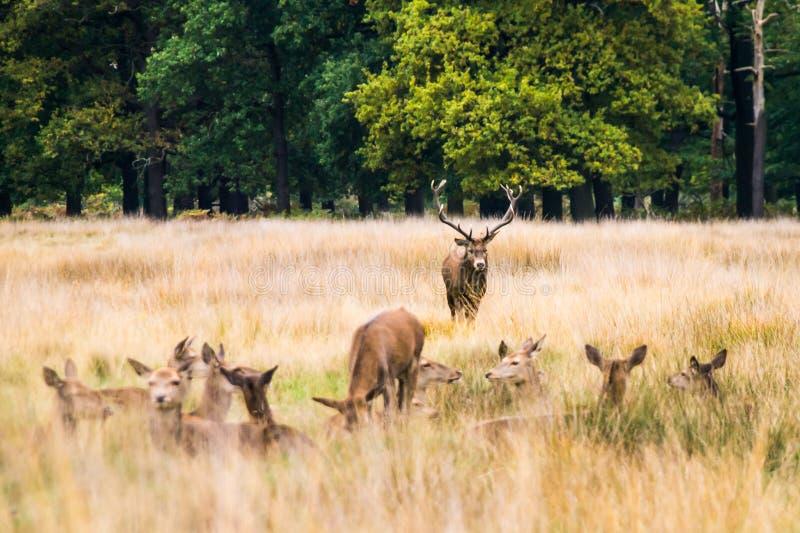 Een volwassen mannelijk rood hert onderzoekt zijn harem royalty-vrije stock fotografie
