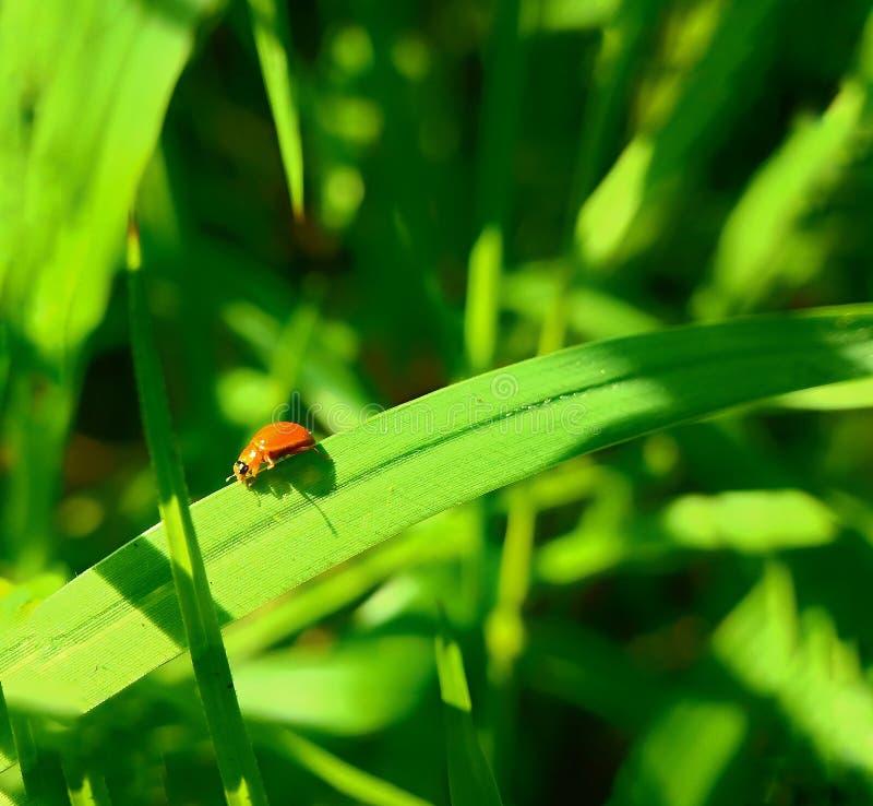 Een volwassen mannelijk uiterst klein oranje Mexicaans boonlieveheersbeestje, dameinsect, de Geleedpotigen van de damevogel: Inse royalty-vrije stock afbeelding