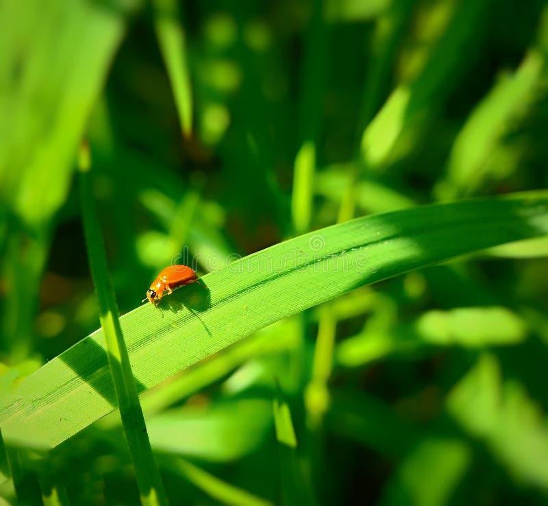 Een volwassen mannelijk uiterst klein oranje Mexicaans boonlieveheersbeestje, dameinsect, de Geleedpotigen van de damevogel: Inse stock foto's