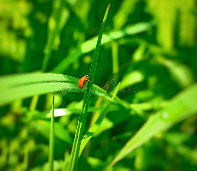 Een volwassen mannelijk uiterst klein oranje Mexicaans boonlieveheersbeestje, dameinsect, de Geleedpotigen van de damevogel: Inse royalty-vrije stock foto