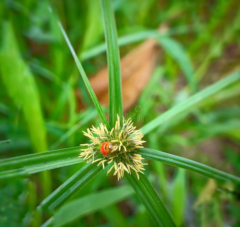 Een volwassen mannelijk uiterst klein oranje Mexicaans boonlieveheersbeestje, dameinsect, de Geleedpotigen van de damevogel: Inse royalty-vrije stock foto's