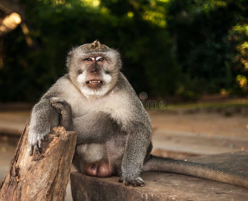 Een volwassen mannelijke macaque met lange staart zit op een steen met zijn recht stock afbeeldingen