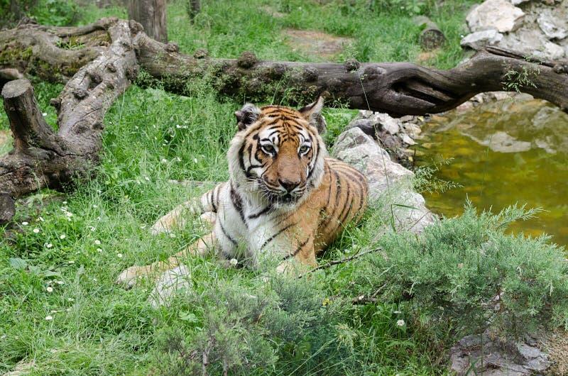 Een volwassen tijger ligt en rust in het gras royalty-vrije stock afbeelding