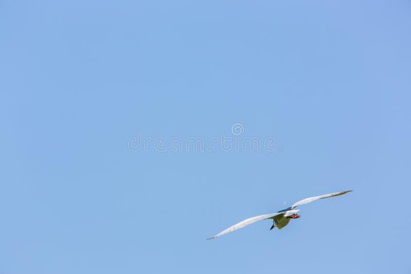 Een volwassen vogel Nycticorax die Nycticorax in een zonnige dag met blauwe hemel in Taiwan vliegen stock foto