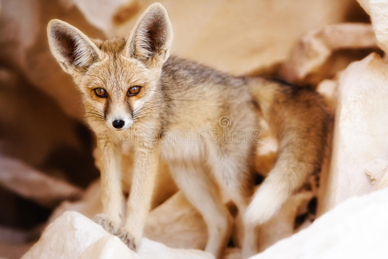 Een vos die van de Woestijn vastbesloten op zijn Prooi let royalty-vrije stock afbeeldingen