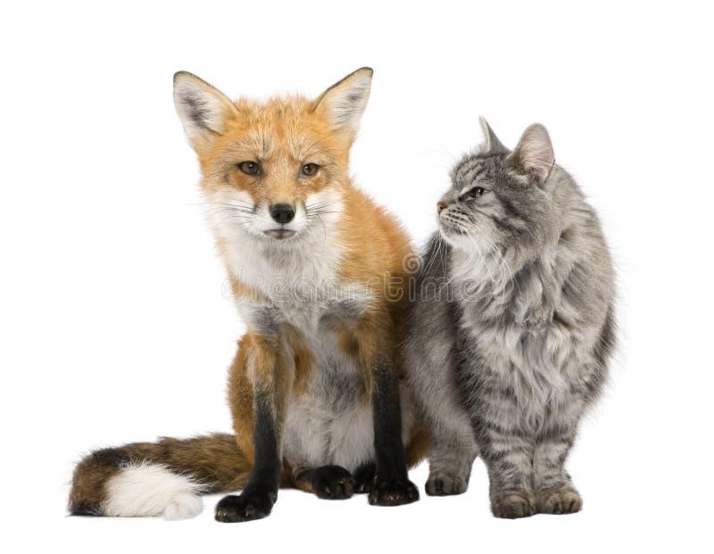 Een vos en een kat stock afbeeldingen
