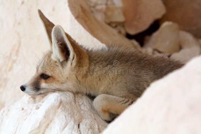 Een vos Fennec stock foto