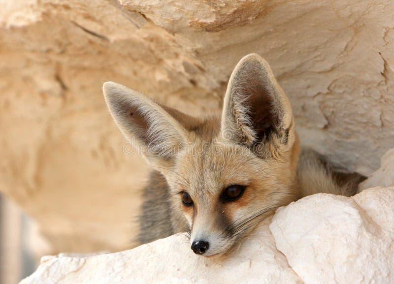 Een vos van de Woestijn in Egypte royalty-vrije stock foto's