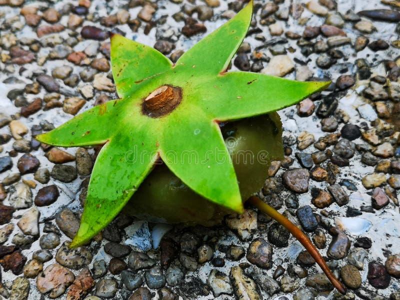 Een vreemd drijvend boomfruit met een ster vormde groene die kroon, op de grintbank wordt geplaatst van een kleine Thaise vijver royalty-vrije stock foto's