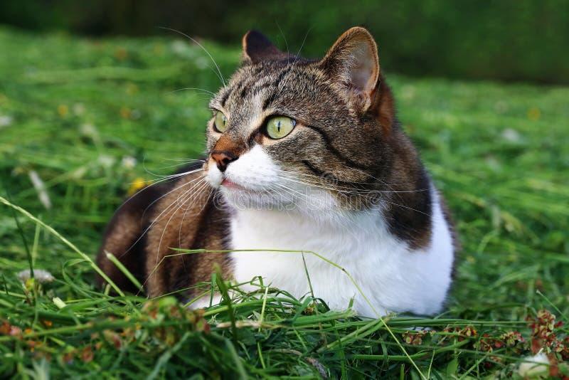 Een vrij weinig kat die merkwaardig in het gemaaide gras liggen stock afbeeldingen