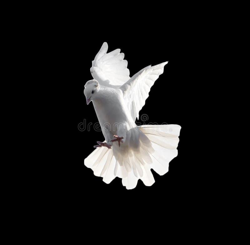 Een vrije vliegende witte die duif op een zwarte achtergrond wordt geïsoleerd royalty-vrije stock afbeelding