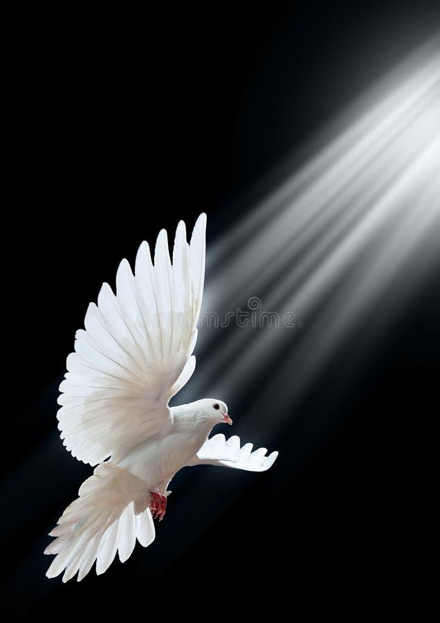 Een vrije vliegende witte duif die op een zwarte wordt geïsoleerd