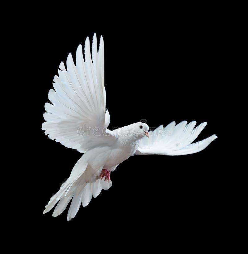 Een vrije vliegende witte duif die op een zwarte wordt geïsoleerd stock fotografie