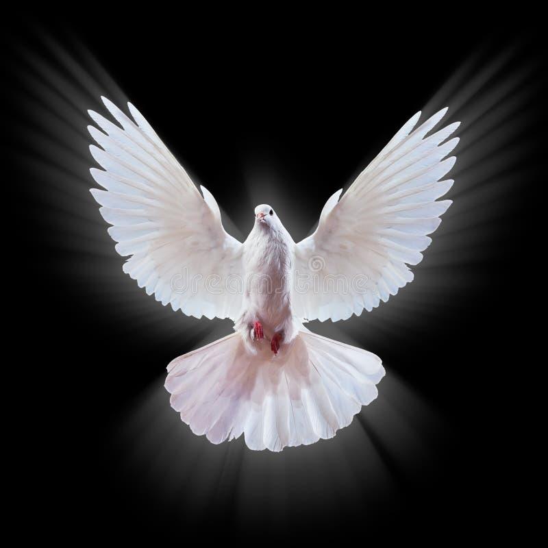 Een vrije vliegende witte duif die op een zwarte wordt geïsoleerd. royalty-vrije stock afbeelding