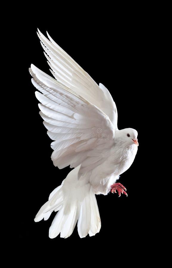Een vrije vliegende witte duif die op een zwarte wordt geïsoleerde royalty-vrije stock afbeelding