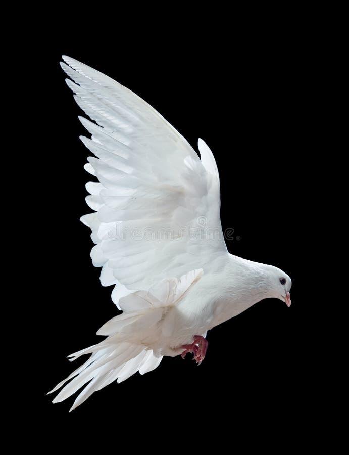 Een vrije vliegende witte duif die op een zwarte wordt geïsoleerdh royalty-vrije stock foto