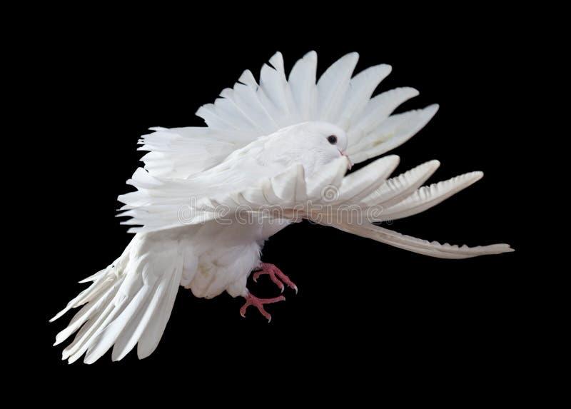Een vrije vliegende witte duif die op een zwarte wordt geïsoleerdp royalty-vrije stock afbeeldingen