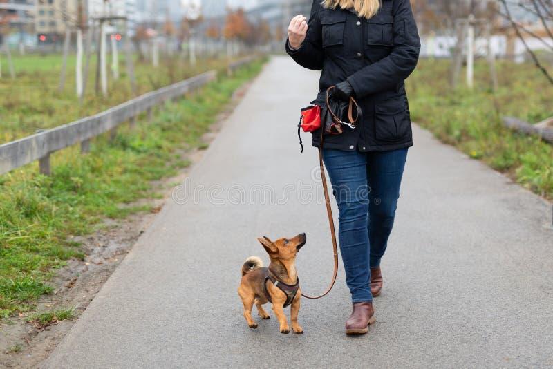 Een vrouw en haar weinig hond praktizeren 'lopend aan hiel 'in het park stock foto