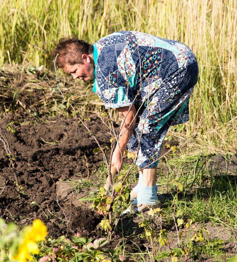 Een vrouw graaft een tuin met een schop stock afbeeldingen