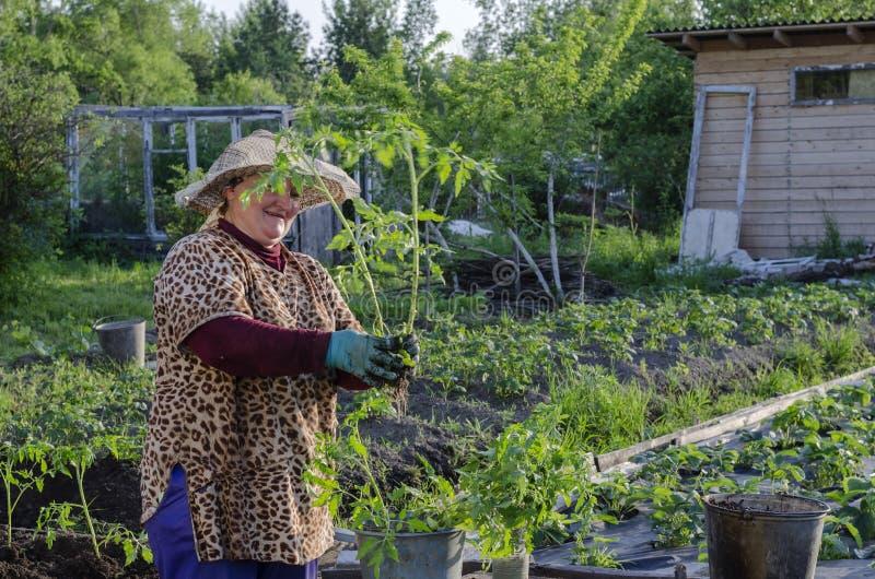 Een vrouw in het land naar de tomatenzaailingen stock afbeelding
